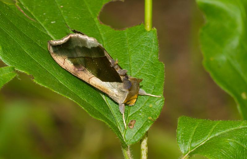 Diachrysia balluca Hologram Moth 93-1179 8897 Family Noctuidae near Cloquet River Independence MN Sax-Zim Bog MN IMG_3071.jpg