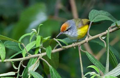 Phyllergates cuculatus - Mountain Tailorbird