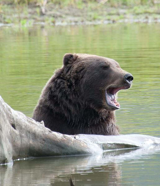 Big bears rule.