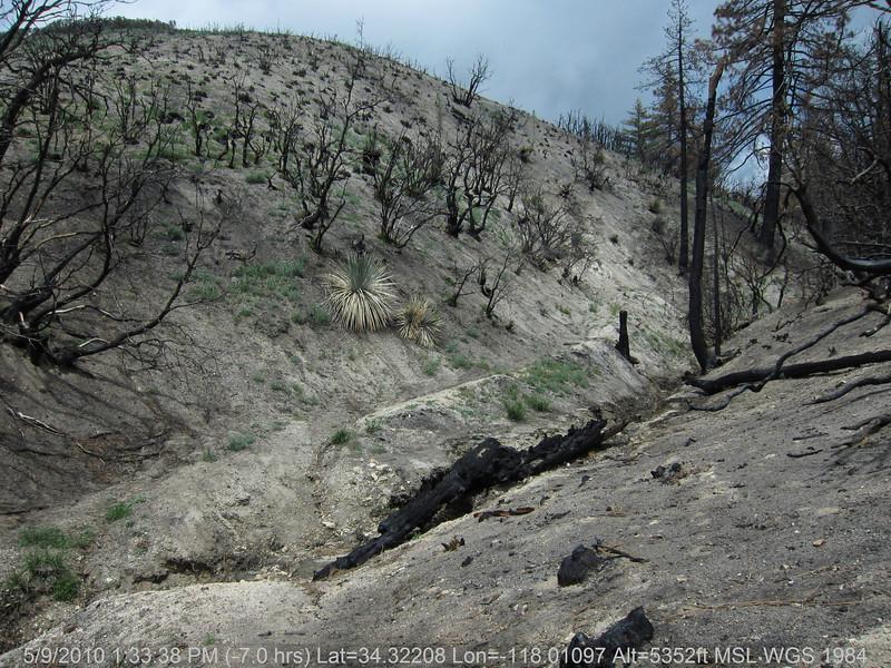 20100509151-Trail Recon, Silver Mocassin, West of Chilao.JPG