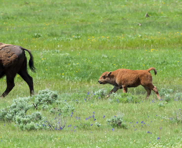 Bison Keeping Up