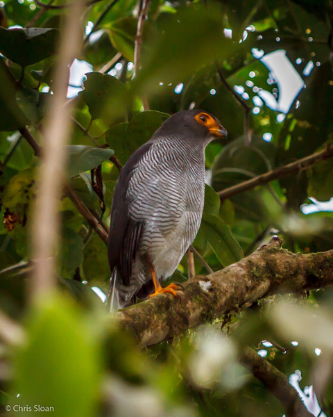 Barred Forest-Falcon at Refugio Paz de las Aves, Ecuador (03-06-2014) 029-110.jpg