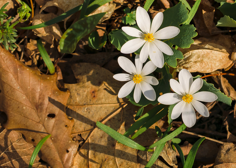 Bloodroot (Sanguinaria canadensis) flowers seen on a warm spring morning at St. Patrick's County Park, South Bend, IN