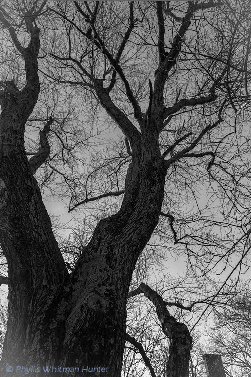 From thick trunk to delicate tracings rising toward the sky.Treasure Tree # 2 Red Maple.