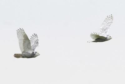 Seneca Snowy Owls