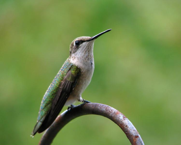 hummingbird_9473.jpg
