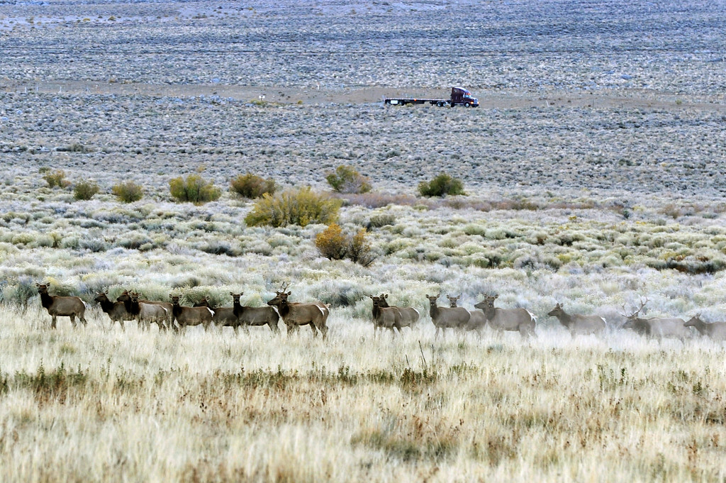 . A heard of elk meander through the Owens Valley as a truck drives up Highway 395. (Photo by Michael Owen Baker/L.A. Daily News)
