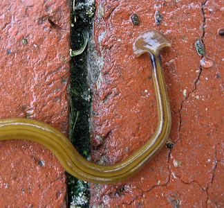 Hammerhead Worms, October 2008