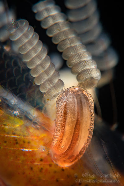 parasitic copepod with eggs (1 of 1).jpg