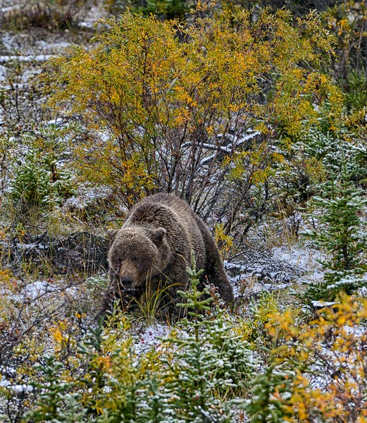 Grizzly Encounter
