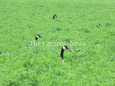 05-14-18 NEWS Geese pix