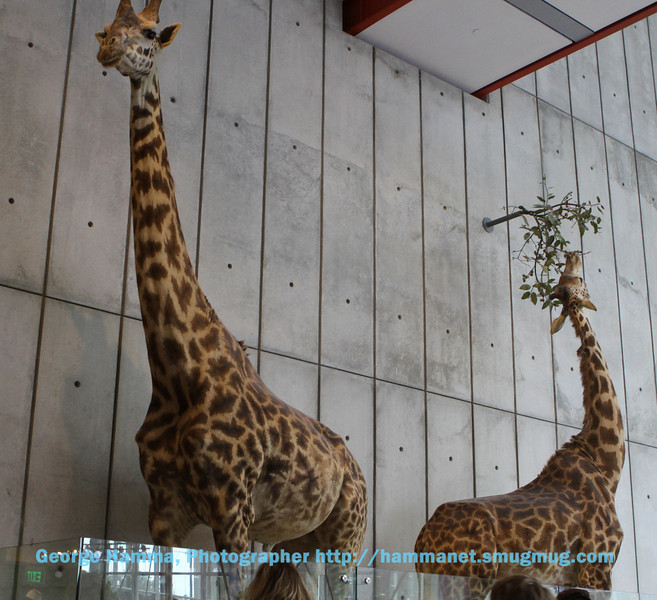 Near the African Hall are a couple of giraffes.