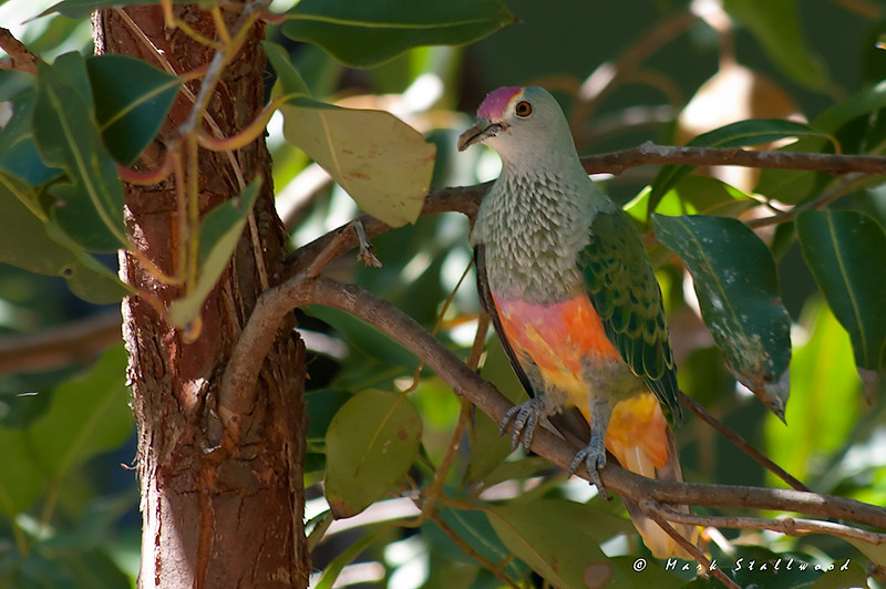 Rose Crowned fruit dove 1110.jpg
