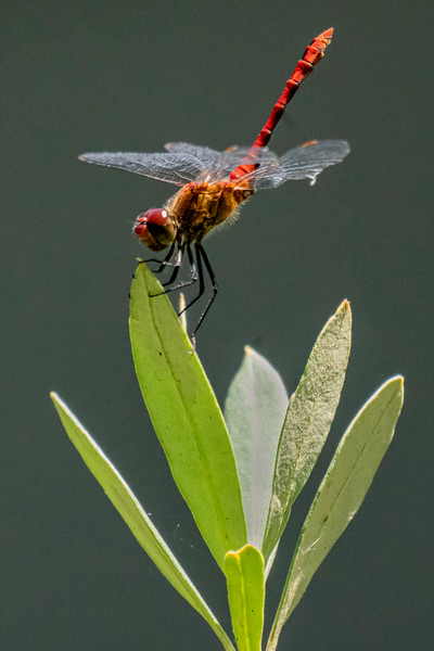 Ruddy Darter - Blutrote Heidelibelle