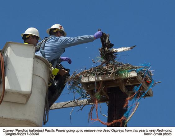 Osprey nest with 2 dead birds A33098.jpg