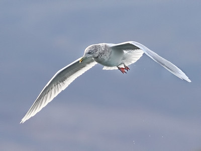 Iceland Birds