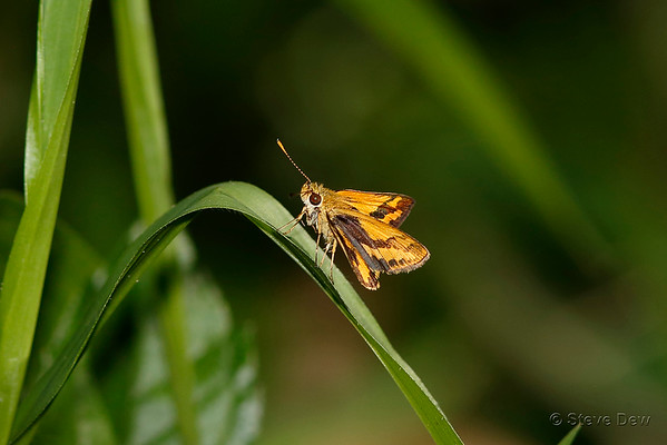 aa Unknown Hesperiidae