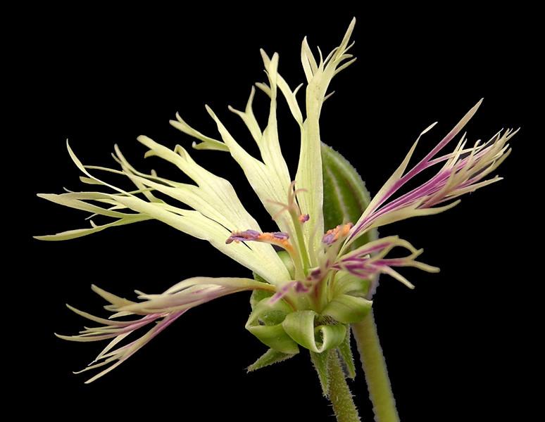 Pelargonium schizopetalum