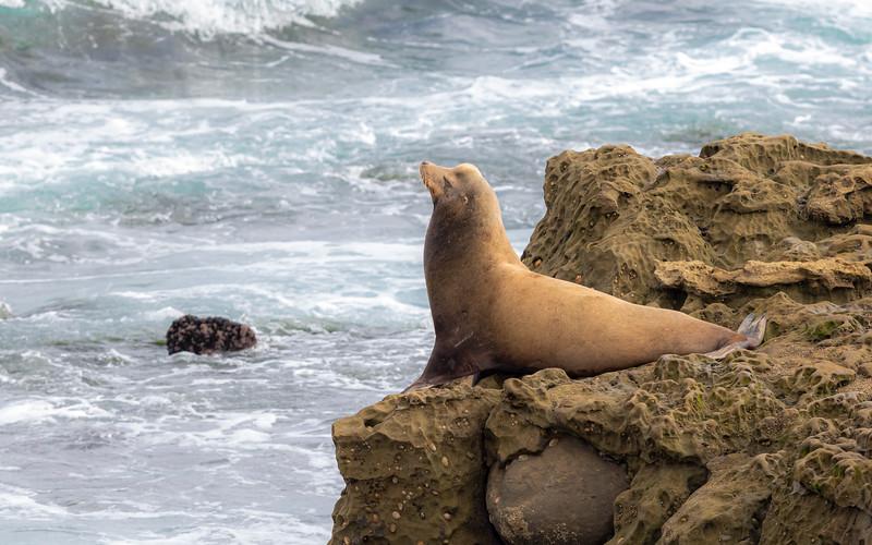 sea lion bull.jpg