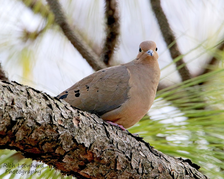 Mourning Dove in Clark Botanic Garden.