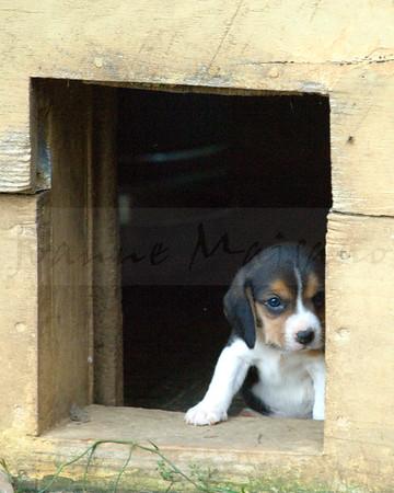 N-T Beagles