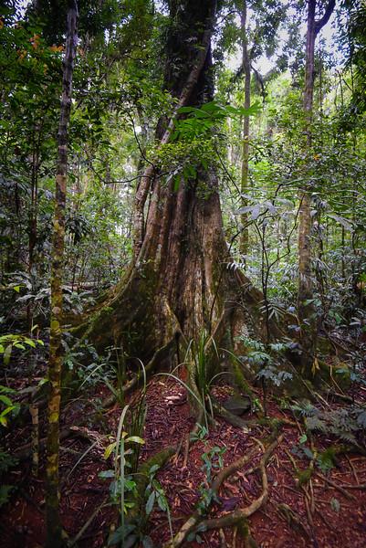 Tree, Queensland Australia