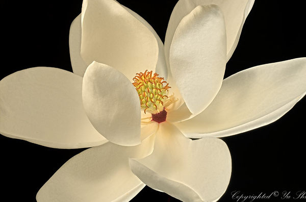 Magnolia Flower copy.jpg