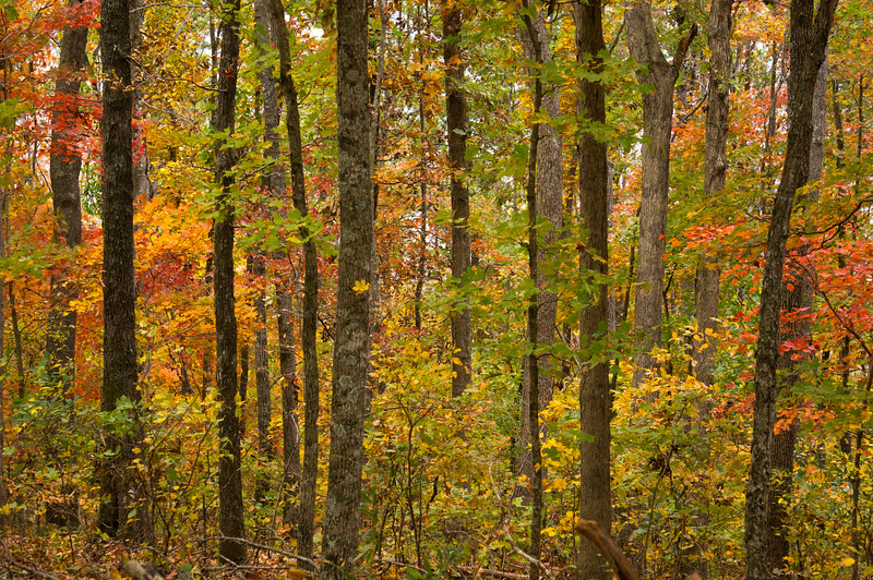 Forest on Cave Mountain, Ozarks