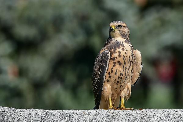 9-1-16 *^Swainson's Hawk - Juvenile