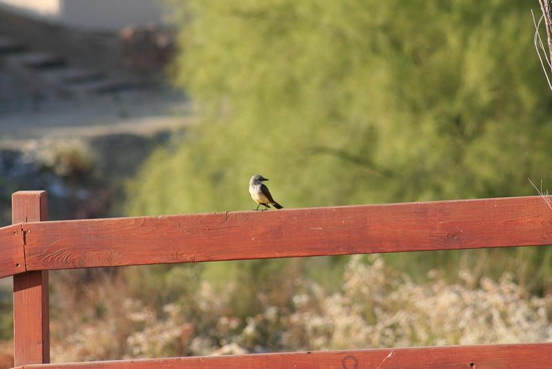 7/28/08 Western Kingbird (Tyrannus verticalis).  Kyle Court Property, La Cresta, Murrieta, SW Riverside County, CA