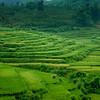 Hills of rice