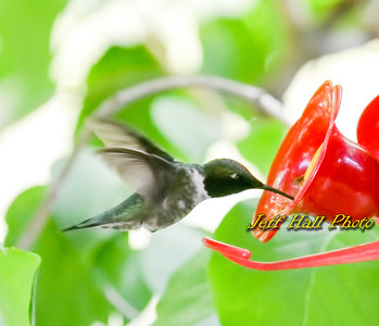 Jeff's Favorite Hummingbirds