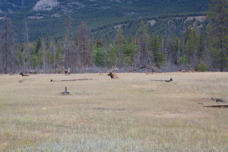A herd of Elk lounging near Jasper
