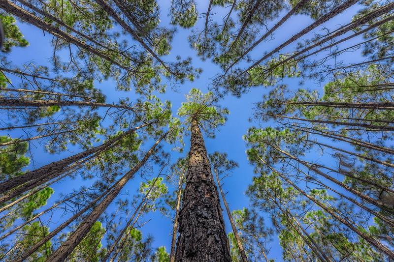 Under pine canopy