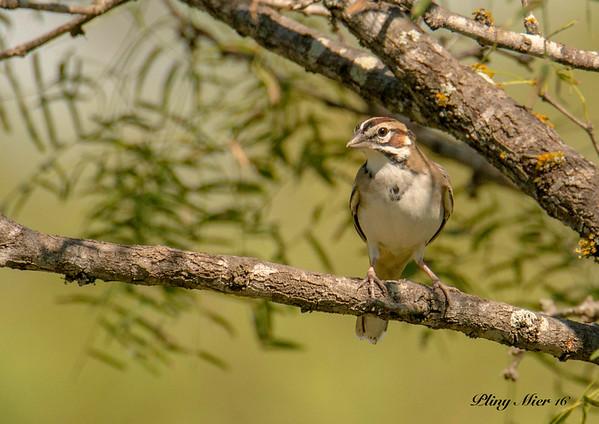 Lark Sparrow LL_DWL5376.jpg