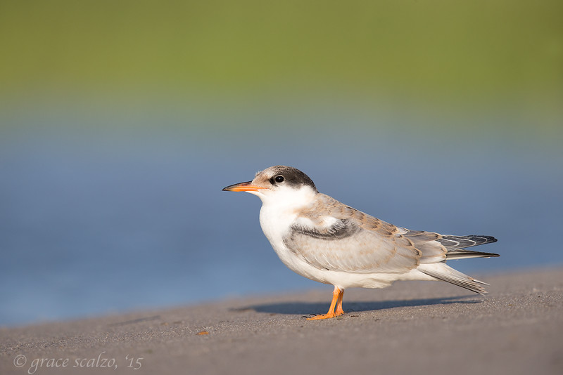 Common Tern Juvenile_O8U8142.jpg