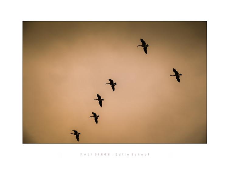 Singh 1 - Geese in Flight.jpg