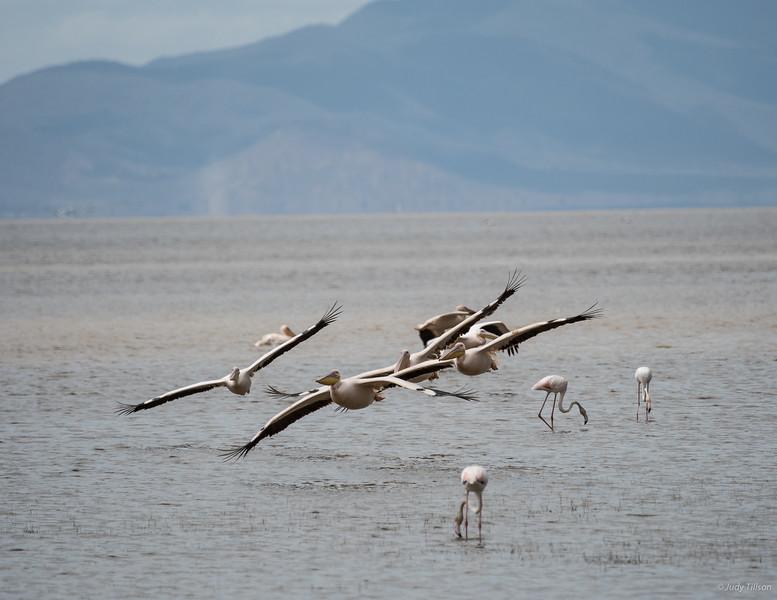 Lake Manyara National Park pelicans n flamingoes-2216.jpg
