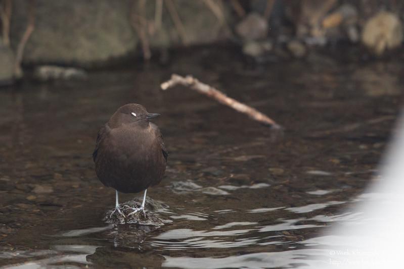 Brown Dipper - Hokkaido, Japan