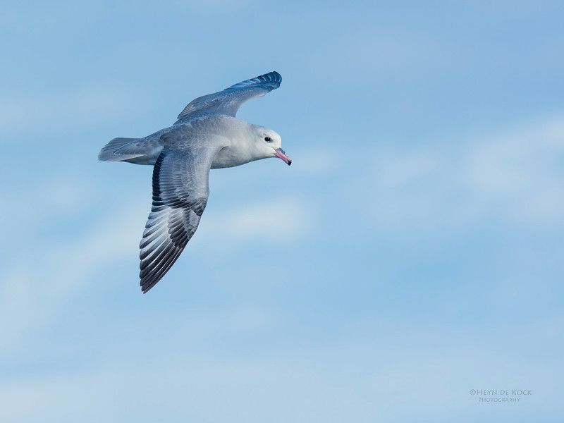 Southern Fulmar, Eaglehawk Neck, TAS, May 2016-4.jpg
