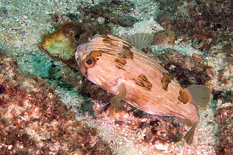 Spiney Pufferfish 2.jpg