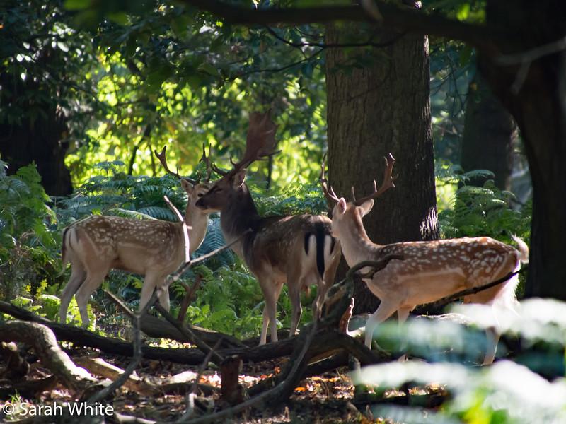 Deer rut_260915_643.jpg