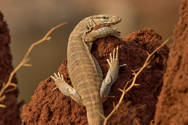 Monitor-lizard-hampi-kamalapura.jpg