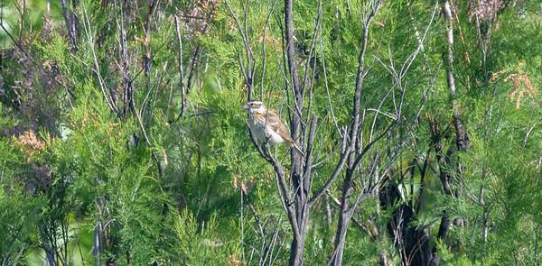 Jacumba Birding 5/25/2019