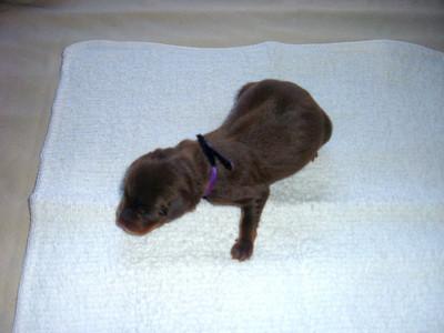 Meghan's dog Koa had 5 puppys 10/31/07