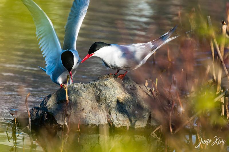 2020-05-12_Potter Marsh bird-_6109594-Juno Kim.jpg