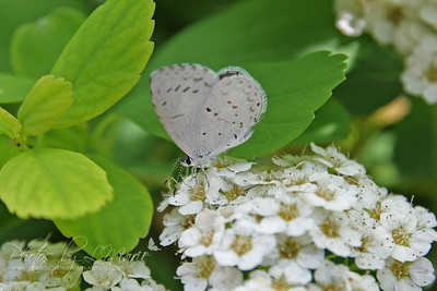 Common Hedge Blue
