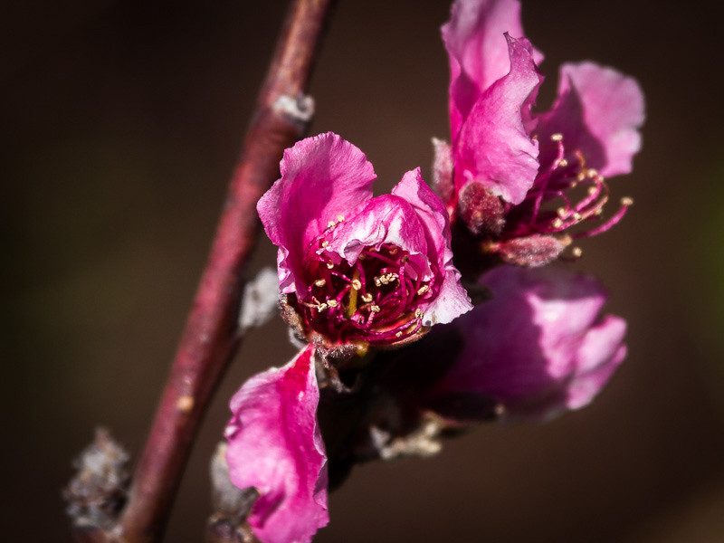 April 20 - Plum blossom.jpg