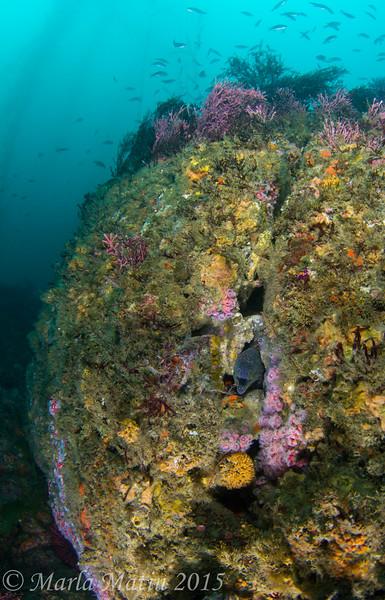 Pt Loma Kelp Humboldt January 31