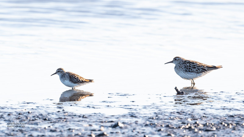 Long-toed Stint & Sharp-tailed Sandpiper, Fullers Oval Wetlands, QLD, Aus, Feb 2019-1.jpg